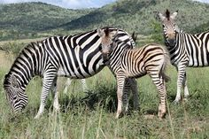 Zebras in South Africa. South Africa was announced as the World's Leading Safari Destination at the 21st World Travel Awards in 2014.