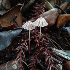 Umbrella fungi - Marasmius tageticolor Berk. (401252).