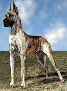 Brindle Great Dane. Someday I will have you.
