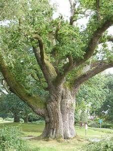 ancient oak trees - Bing Images