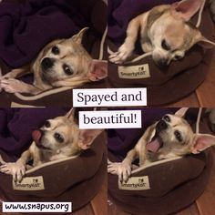 Spay and neuter is cool! Chihuahua Jalapeño sporting her spayed self!