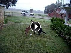 Un #chien et un #daim jouent à la baballe #cerf  http://www.minion.fr/un-chien-et-un-daim-jouent-a-la-baballe/157/