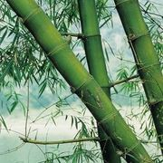 Bamboo is separated into two main varieties, clumping and running. However, both varieties have tall canes with leafy foliage at the top. While bamboo is commonly used to create. Bamboo Art, Bamboo Ideas, Bamboo Fence, Bamboo Planter, Bamboo House, Growing Bamboo, Growing Plants, Bamboo Canes, Bamboo Furniture