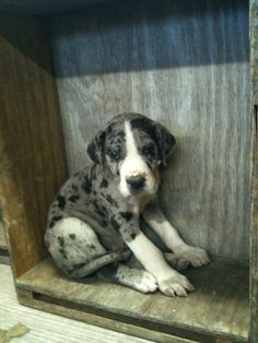 If this picture doesn't make you love great danes, I don't know what will.