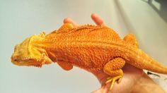 An orange coloured bearded dragon that I based my Krogon character Grog Dragon Family, Adventure Books, Tortoises, Bearded Dragon, Orange, Yellow, Reptiles, My Images, Dragons