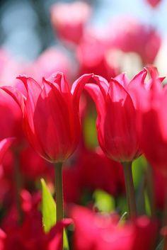 pink tulips, posted via whimsicalraindropcottage.tumblr.com