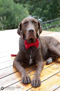 Dog ring bearer with red bow tie?? if i have a dog i love