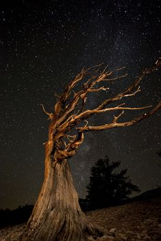 **This magnificent image shows a hauntingly beautiful bristlecone pine captured against the stark majesty of the night sky. Captured at Patriarch Grove in the Ancient Bristlecone Pine Forest, there aren't many organisms on earth older than this tree, which makes its juxtaposition with the stars seem particularly fitting.