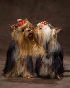 Yorkie kisses are the best kisses!
