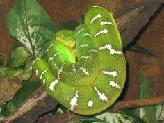 Emerald Tree Boa   Endless Wildlife