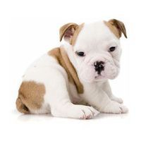 English Bulldog pup --- Awwwww! It is my dream to one day purchase such a lovable puppeh