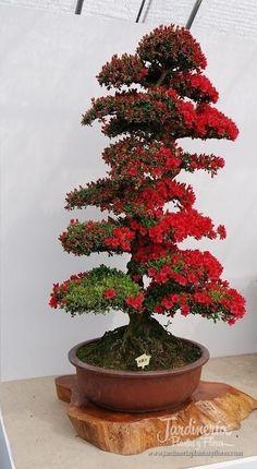 Kurume Tsutsuji bonsai - http://jardineriaplantasyflores.com/fotos/kurume-tsutsuji-bonsai/