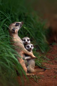 The ever curious and 'stand on guard for thee'..... Meerkat Family