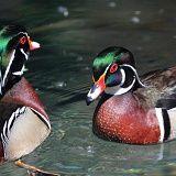 Ninfa anatre 4288-1  Ninfa, Priverno. Due coloratissimi maschi di anatra sposa (aix sponsa) si battono per le femmine o per il territorio. :...
