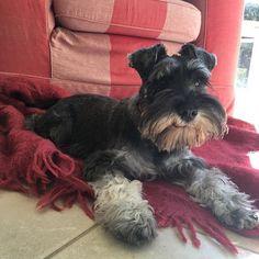 Happy Thursday! I'm thinking about the weekend.  #thursday #schnauzerworld #dogphotography #boopmynose #cute #cutepuppy #puppy #puppies #puppiesofinstagram #instapup #puppylove #dog #dogs #cutedog #dogsofinstagram #dogoftheday #ilovemydog #schnauzer #furbaby #schnauzers #schnauzerlove #schnauzerchallenge #schnauzerpuppy #schnauzersofinstagram #minischnauzer #miniatureschnauzer #saltandpepperschnauzer #ilovemyschnauzer #arlotheschnauzer