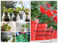 Overwintering geraniums just got a whole lot easier for me!