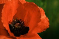 """Brilliant Scarlet Oriental Poppy - Papaver - 4 Plants by Hirts: Poppy. $9.99. Loves the sun. Blooms in early to mid summer. Hardy in zones 3-9. Height: 36 inches. Immediate shipping in 2 1/2"""" pots. Shipped dormant in the winter. PAPAVER: Delicate blossoms of Poppies have enchanted us for generations. Large paper-thin petals form a bowl around their ornamental centers. The blossoms are a favorite for butterflies, hummingbirds and bees. Sunlight makes their trans..."""