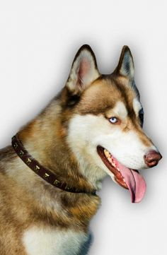This collar is decorated with brass studs, that make it awesome. You can buy black, brown or tan collar, according to the fur's color of your Siberian Husky.