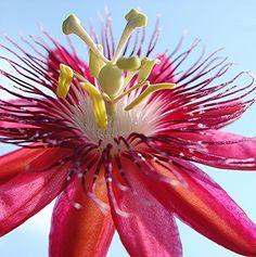 Rosy purple Passion flower and pale blue sky Flora Flowers, Unusual Flowers, Unusual Plants, Rare Flowers, Flowers Nature, Tropical Flowers, Amazing Flowers, Beautiful Flowers, Purple Passion Flower