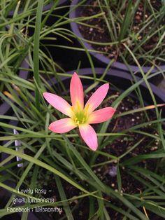 Lovely Rosy  บัวดินลูกผสมของไม้หัวดอกสวย Facebook : ไม้หัวดอกสวย