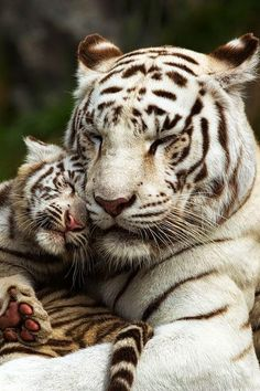 White Tiger mother and cub cuddling