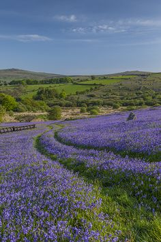 Holwell Lawn - bluebells - Landscape Photo Picture Image - Neville Stanikk Photography Dartmoor England