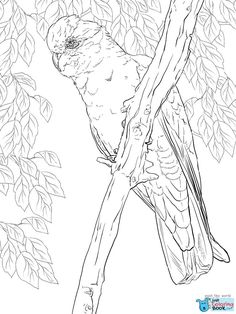 Free Printable Galah Cockatoo Coloring Pages and others free printable coloring pages for kids and adults! Just free for you! Flamingo Coloring Page, Owl Coloring Pages, Free Printable Coloring Pages, Coloring Sheets, Coloring Books, Free Printables, Galah Cockatoo, Pink Cockatoo, Colorful Feathers