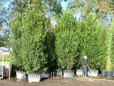 laurus nobilis: limited root system so could be good for around the pool