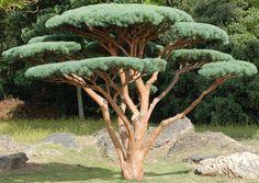 Un réel plaisir ! Topiary Garden, Bonsai Garden, Garden Trees, Trees To Plant, Garden Art, Japanese Garden Design, Garden Landscape Design, Small Garden Design, Cloud Pruning