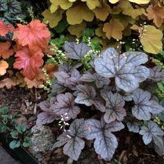 Coral Bells/Heuchera and Hybrids | Fine Gardening