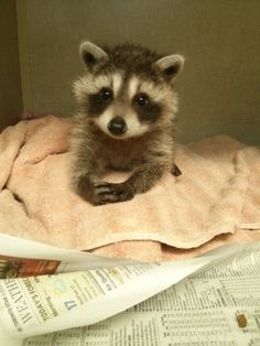 This looks like my JuJu B! I used to have a baby raccoon for a pet when I was little. :)