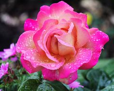 wet rose | Flickr - Photo Sharing!
