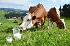 Photo about Milk and cows. Image of ecologic, country, agriculture - 40363917 Milk And Cheese, Raw Milk, Cows, Cattle, Agriculture, Stock Photos, Vector Stock, Country, Switzerland