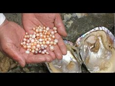 Pearls are most frequently found in oysters, and less frequently in clams and mussels. This fortuitous woman hit the jackpot when she opened up this clam and found a handful […] Love Symbols, Clams, Cultured Pearls, The Incredibles, Cleaning, This Or That Questions, Pearl Necklaces, Pearl Jewelry, Diamond Jewelry