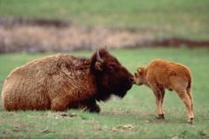 Grand Teton National Park Bison and newborn. Buffalo Animal, Baby Buffalo, Nature Animals, Baby Animals, Cute Animals, Animal Babies, Wild Animals, Grand Teton National Park, National Parks