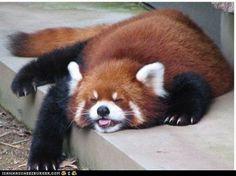 sleepy red panda
