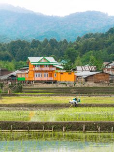 A person picking rice before an orange house in the rice paddies of the Ziro Valley in Arunachal Pradesh state, northeast India.
