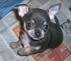 Seeking a small dog harness to walk your fur baby? www.chic-dog-boutique.com has tons!