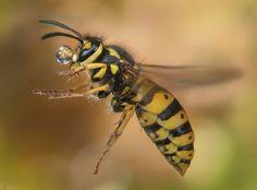 #wasp #wespe