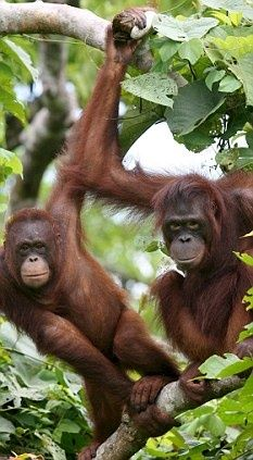 The great apes construct large, oval nests in tree canopies where each evening they will curl up and sleep but little is known about their mechanical design. Primates, Mammals, Animals Of The World, Animals And Pets, Baby Animals, Cute Animals, Sumatran Orangutan, Chimpanzee, Save The Orangutans