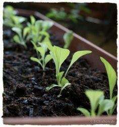 Tipps Salat! Pflücksalatkeimlinge im Balkonkasten