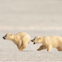 2 Polar Bear cubs, only 5 months old, chasing each other on the ice in Svalbard. Nature Animals, Animals And Pets, Baby Animals, Funny Animals, Cute Animals, Wooly Bully, Baby Polar Bears, Mundo Animal, Bear Art