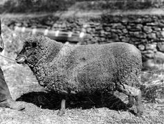 Prize winning merino sheep at the Royal Agricultural and Horticultural Society's Livestock Show held at the Jubilee Oval in Adelaide, South Australia in 1914