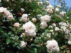 Die Rambler-Rose 'Mme. Alice Garnier' (Laurent Fauque & Fils 1906) ist eine sehr schöne Wichuriana-Hybride. Ihre eher dünneren Triebe mit kleinen aber zahlreichen Blättern im glänzenden dunklen Grün lassen sich sehr gut an Bögen Wänden und Pergolen anbinden. Die süss nach Äpfeln duftenden Blüten-Rosetten strahlen im hellen Orange-Rosa mit gelbem Auge. Angebunden erreicht diese gerne auch Halbschatten tolerierende Rose eine Höhe bis zu 350 cm und Breite von etwa 200 cm. Das Bild verdanken…