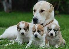 Central Asian Shepherd with her pups  aka an Alabai
