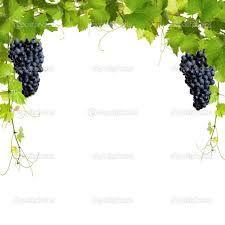 Resultado de imagem para parreiras de uvas