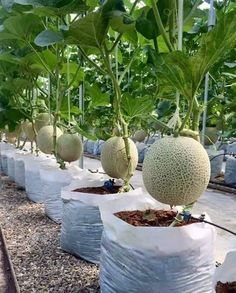 How to Grow Melons #organicgardeningtips