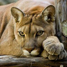 Texas Cougar  byDebbie Bryant