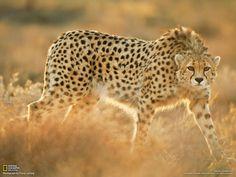 fiche animaux guepard asie