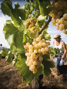 A la découverte du vin de Provence durant les vendanges d'automne dans les vignes Wine Vineyards, Regions Of Italy, Fine Wine, Raisin, Tuscany, Grape Vines, Harvest, Fruit, Authentique